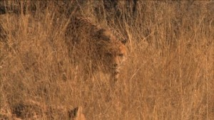 747302174-ghepardo-curiosita-namibia-savana